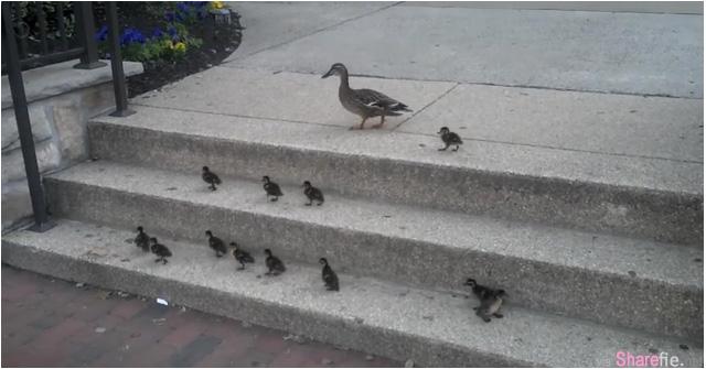 当你心情低落时,看看这群鸭子!