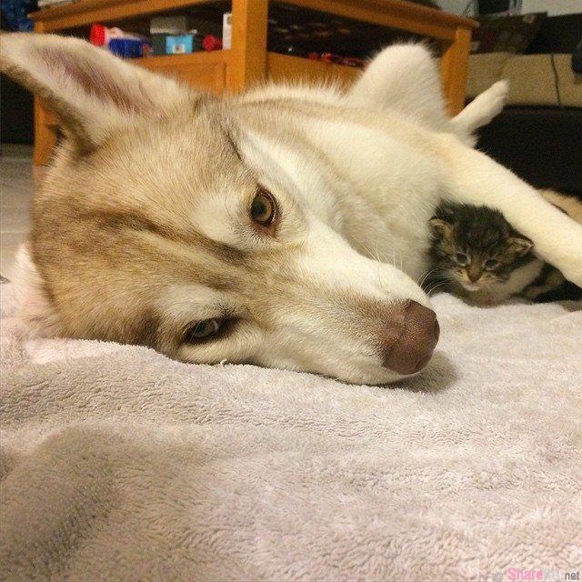 母爱爆发!哈士奇妈妈把流浪小猫养成狗了
