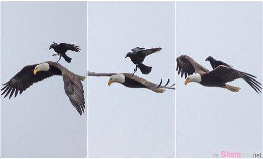 这只乌鸦竟搭起了老鹰的顺风车,样子超淡定的