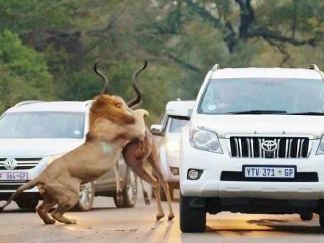 南非羚羊遭獅子捕殺,冲至塞车马路,車上遊客全都吓得目瞪口呆!