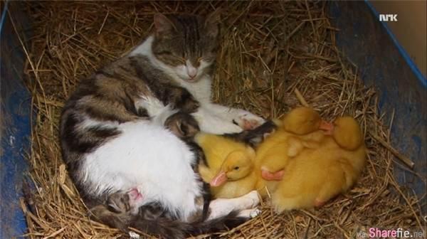這只貓咪咬了幾只剛孵化出來的『鴨子』回自己的窩裡,正當人們以為貓咪想把鴨子當晚餐,奇蹟的事發生了