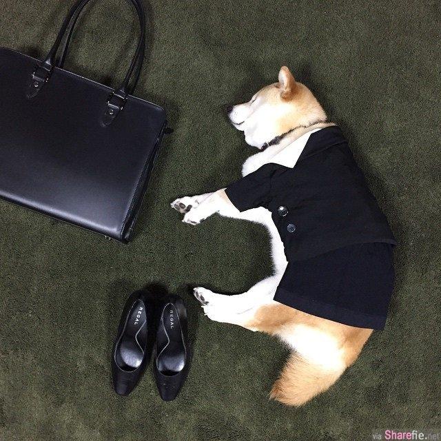 柴犬cosplay怎么怪怪的? 原来他重头到尾都在睡觉...