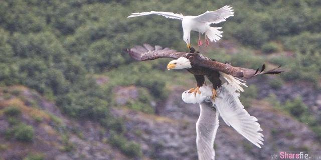 美洲鹰擒海鸥 海鸥弟弟啄老鹰 最后谁赢了?