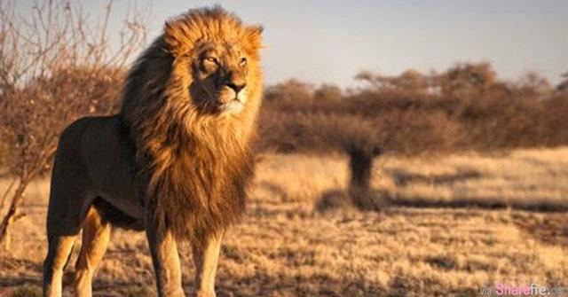 狮子和狼,看完后你就明白了!没想到狮子的哲理那么….