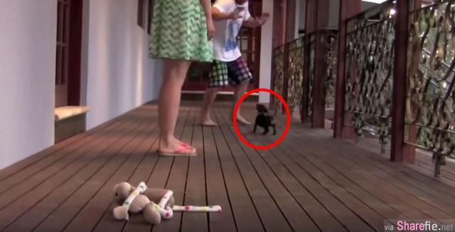 """这只狗狗不知道自己有多小只,看到主人被攻击时果断""""英雄救美""""!网友看了超感动!!"""