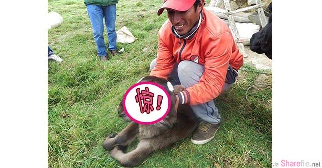秘鲁惊现一只四眼双头牛 村民:神的礼物,恶魔化身  兽医:。。。。