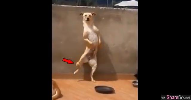 笑翻了!这只狗狗是我见过史上最强舞者,全身超会扭!
