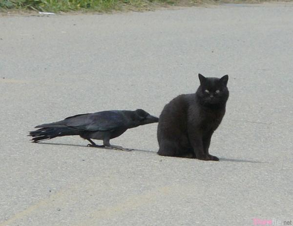 乌鸦天不怕地不怕 就爱偷偷摸摸恶作剧...