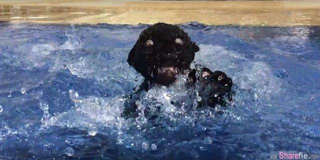 超黑的小黑豹不知道什么是泳池,兴奋的冲入..下一秒竟被吓到大变脸