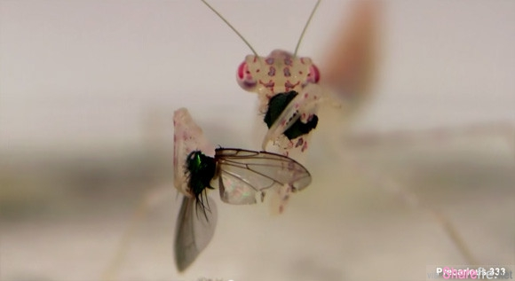 """一朵兰花和一只停靠的苍蝇,下一秒竟然...""""兰花""""吃苍蝇短片疯传"""