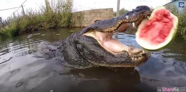 鳄鱼究竟有多恐怖?好大只的鳄鱼,把一粒大西瓜丢给它,瞬间爆浆
