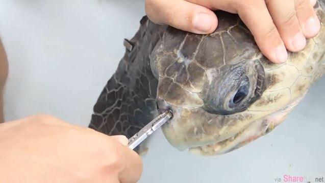 心痛!这只海龟差点因为这插在鼻孔里的东西差点死亡