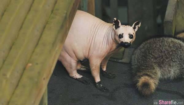 这20只可怜的无毛动物,几乎全身无毛,快要无法辨认了