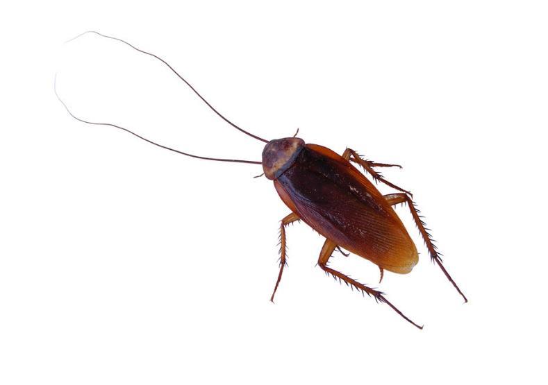 母蟑螂卡男子耳内  竟然还产下25只小蟑螂宝宝!