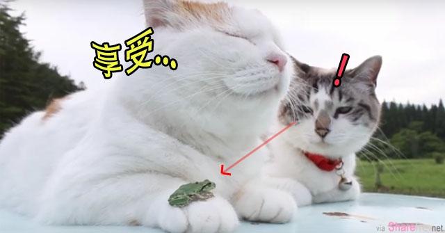 一只胖喵和一只灰脸喵 眯着眼懒洋洋的纳凉,放了一只小青蛙,结果灰脸猫: 。。。.