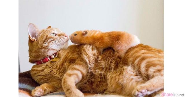 这两只可爱的喵星人与仓鼠证明猫与鼠还是可以成为好朋友的