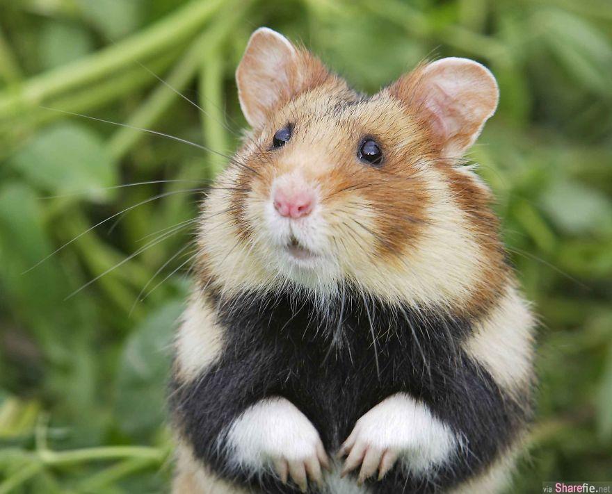 18只超可爱的小仓鼠 肥的瘦的迷你的贪吃的可怜的每一只都萌爆了
