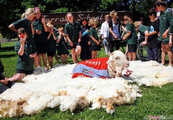 这两只羊6,7年不剪毛,已经厚到完全把眼睛给遮住了,现场剃光光的画面太惊人