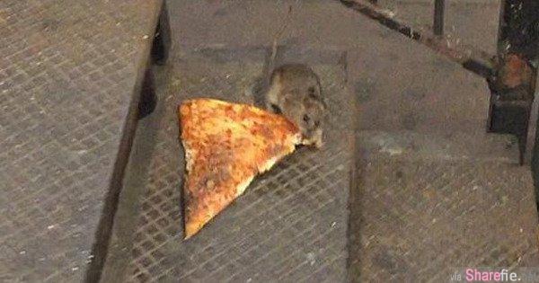 一只老鼠在捷运偷运披萨,引发了网路大轰动和案情大侦查…