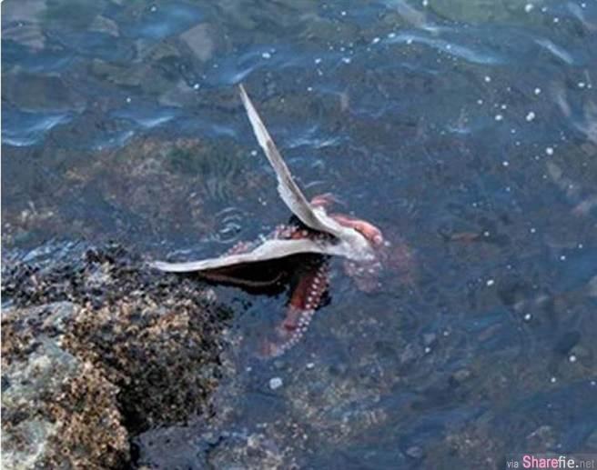 海鸥想要猎食章鱼,没想到竟然被章鱼活生生的吞没了