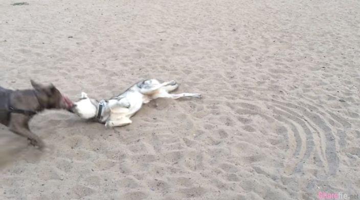 两只狗狗展开拉扯大战! 懂得利用自身优势的才能得到最后的胜利