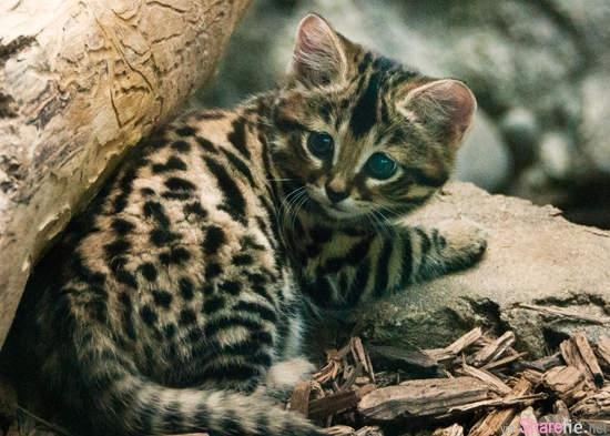这只披着豹皮的猫是全世界最小型的猫科动物,脚底有个特别的特征