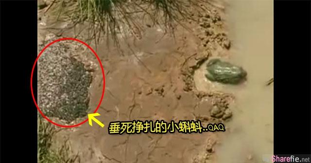 眼看小蝌蚪们即将因缺水而死亡, 这只青蛙妈妈的下一个举动会让你超感动,太厉害了