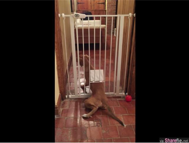 主人一直搞不明白这只大黄狗是怎样从闸门走过去的,直到有一天,他装上了监控摄影机……