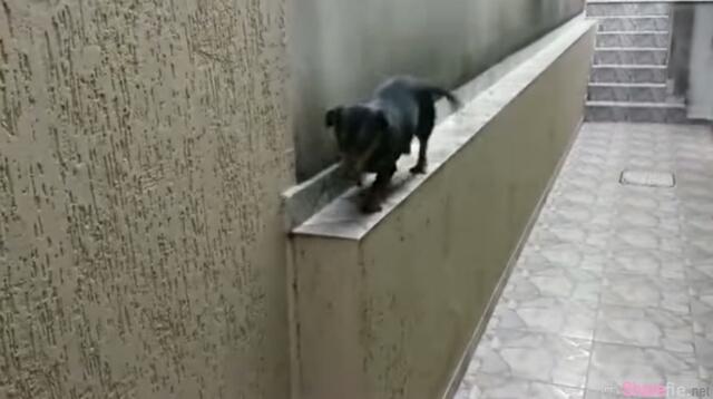 当这只狗狗已无路可走时,它竟然想出这样可爱的办法