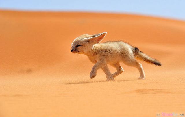 世界上最美丽的7种狐狸