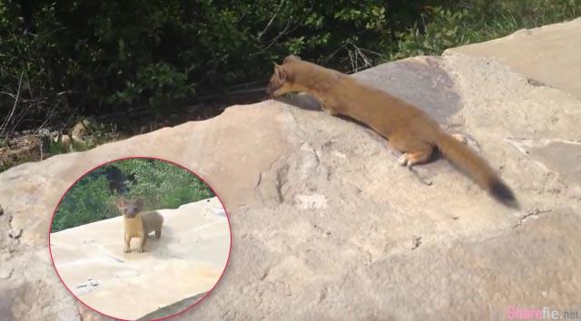 这只掉队小鼬鼠在高高的墙上大哭 但接下来的一幕太温馨 连拍摄者都笑了出来!