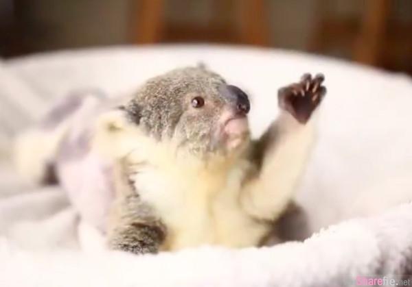超级无敌可爱的无尾熊宝宝「伊莫」