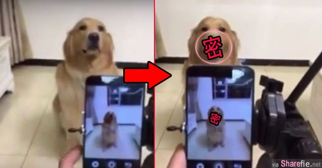 一开始这只狗狗脸超臭  当主人说完1,2,3 ...这只狗狗摆出的表情让全世界的网友都萌翻了  原来超会拍照