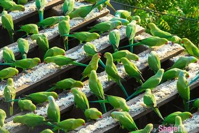 什么原因让他每天早起煮饭 为了这4000只鹦鹉 而且一做就是10年