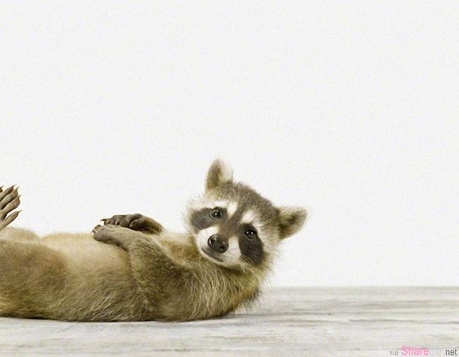21张卖萌的浣熊 他们可爱调皮的模样会让你心情立刻好起来