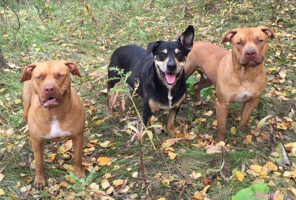 这三只加拿大狗狗想与豪猪一起玩 结局就是满身满脸遭针刺还差点有生命危险