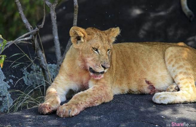 澳洲摄影师旅游意外拍到斑马肚子里竟然发现有一对眼睛...