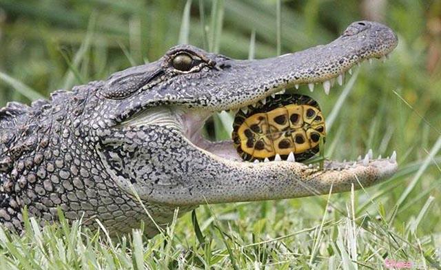 这只鳄鱼把硬壳的乌龟咬在嘴里 下一秒超可怕的事情发生