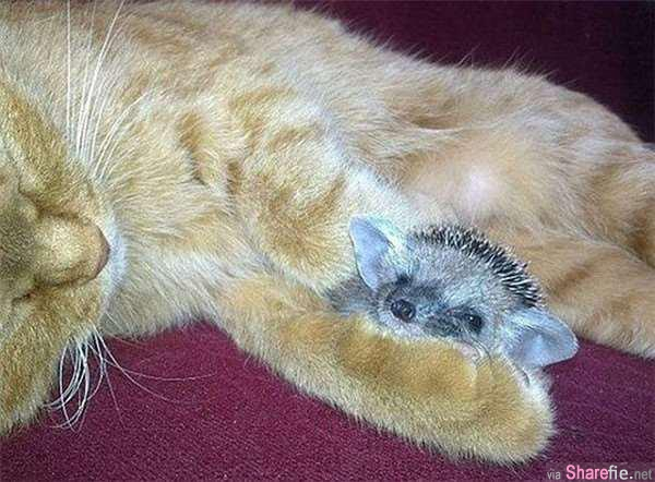 猫咪在野外遇到四只小刺猬,急忙叼回家,接下来发生的事让人傻眼