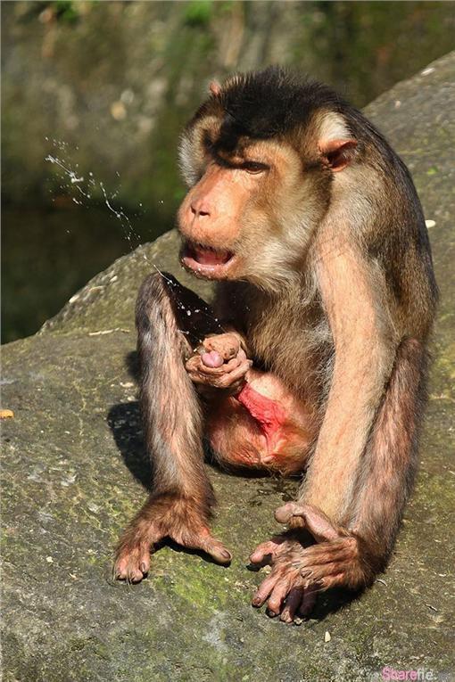 网友动物园游玩意外拍到猪尾猕猴自慰射精 网友:本日最高男优