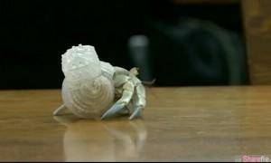 为什么日本寄居蟹的壳都成这样透明色?