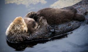 水獭妈妈当木筏 抱着水獭宝宝水上飘  超萌的让网友:是我见过最美的画面