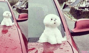 下雪天竟然逼小狗坐在引擎盖上!有网友以为是引擎取暖 但真相是...