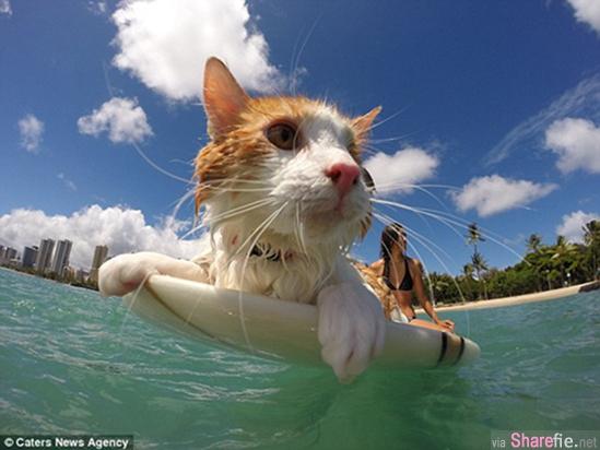 夏威夷独眼小猫爱冲浪 看了它超自信的冲浪雄姿造型 帅呆了