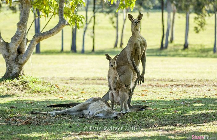 澳洲一只袋鼠爸爸和孩子不离不弃的守护着妈妈身边 感动无数网友