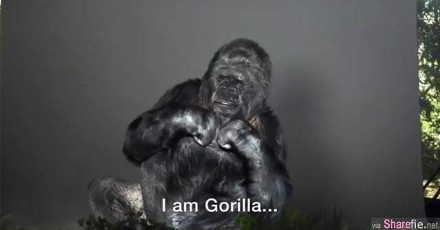 这只大猩猩努力学会手语后 牠第一件想说的事情竟是这个!人类...