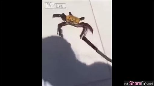 你不要过来!这只待宰的螃蟹竟然向厨师挥舞菜刀 网友跪求别吃牠