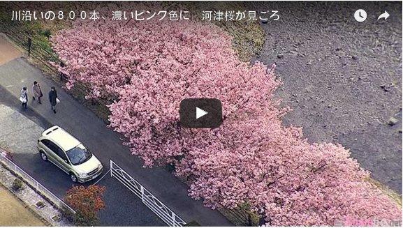 日本的浪漫粉红隧道又出现了,光看影片就让人想要立马飞去现场欣赏啦!