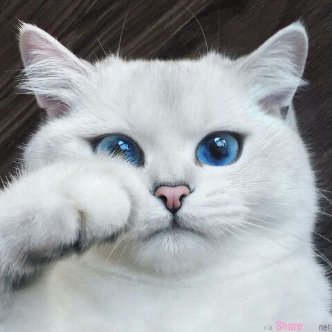 这只猫咪拥有「全世界最美丽的猫眼睛」!晶亮有如蓝宝石
