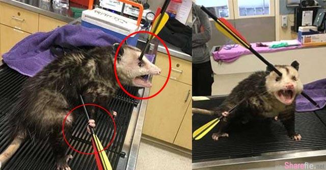 这只负鼠的头和身体被「弓箭射穿」,生命力超强的它竟想自己拔出弓箭!最后它....
